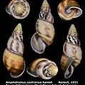 Amphidromus contrarius hanieli 39.75mm 00.jpg