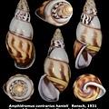 Amphidromus contrarius hanieli 41.66mm 00.jpg
