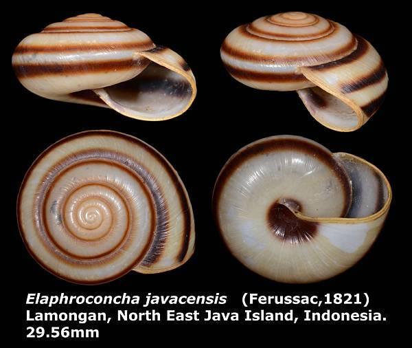 Elaphroconcha javacensis 29.56mm 00