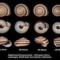 Elaphroconcha javacensis 28.30-31.9mm