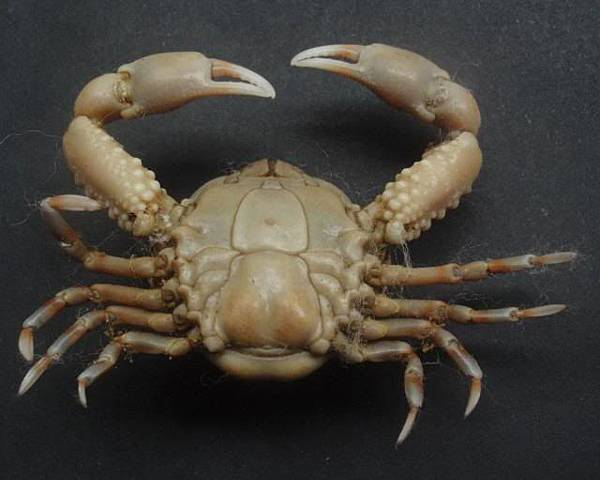 Euclosiana crosnieri 55x40mm 02