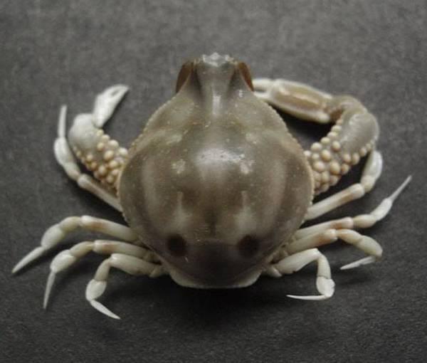 Leucosia craniolaris 27mm 頭蓋玉蟹