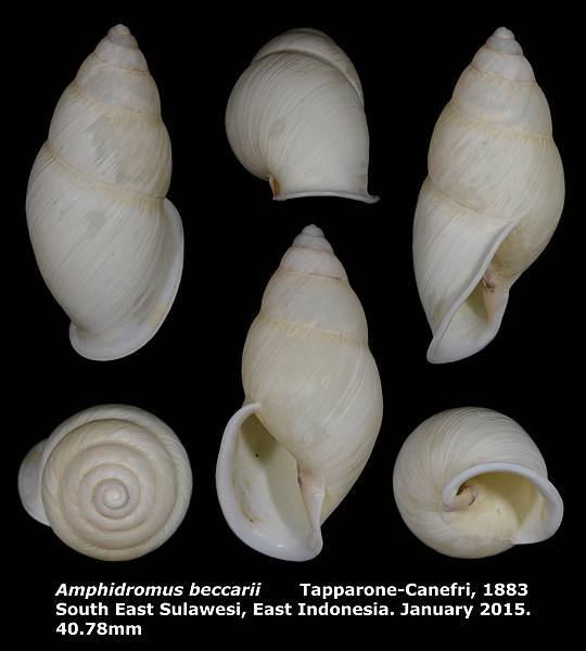 Amphidromus beccarii 40.78mm 00