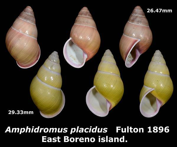 Amphidromus placidus 26.47 & 29.33mm