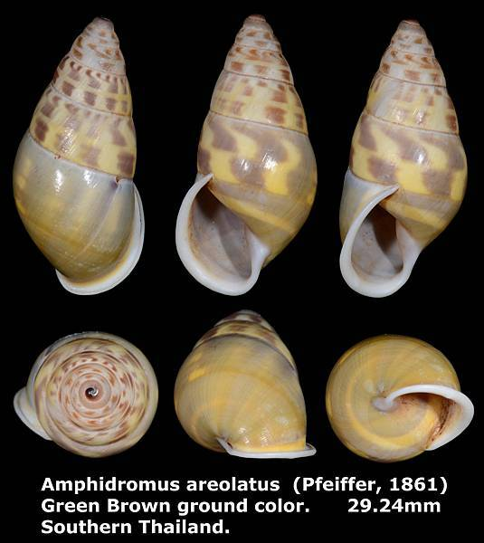 Amphidromus areolatus 29.24mm 00