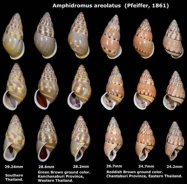 Amphidromus areolatus 24.2 to 29.24mm 0