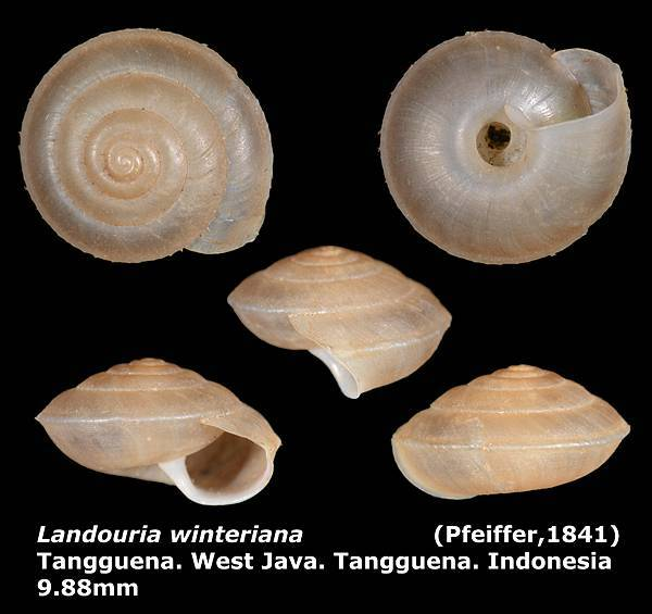 Landouria winteriana 9.88mm 00.jpg