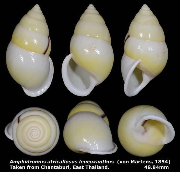 Amphidromus atricallosus leucoxanthus 48.84mm 00