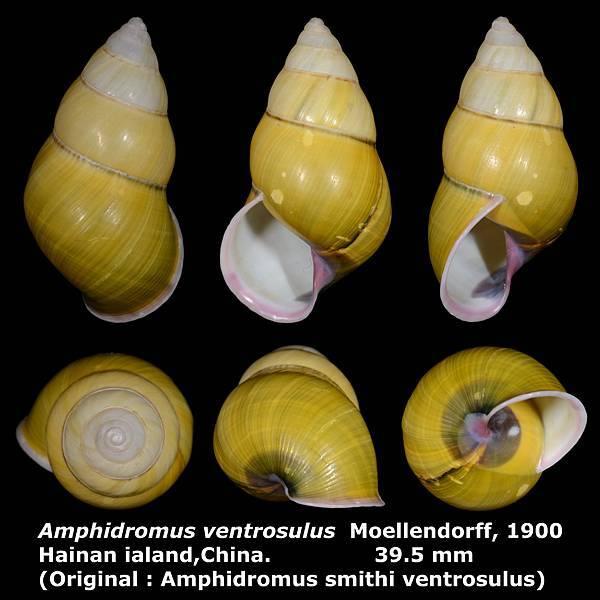 Amphidromus ventrosulus 39.5mm 00