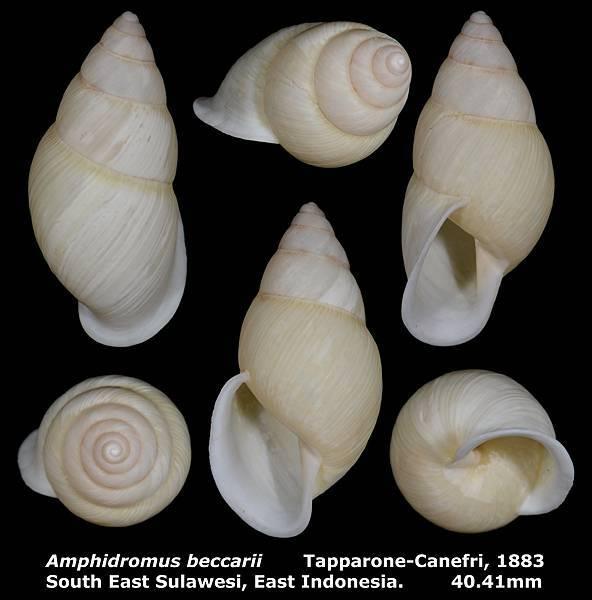 Amphidromus beccarii 40.41mm 00a