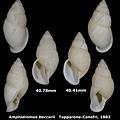 Amphidromus beccarii 40.41 & 40.78mm 00