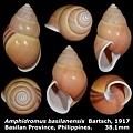 Amphidromus basilanensis 38.1mm 00a.jpg