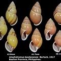 Amphidromus basilanensis 38.1 to 42.0mm.jpg