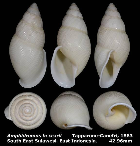 Amphidromus beccarii 42.96mm 00