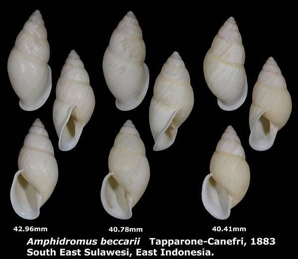 Amphidromus beccarii 40.41 to 42.96mm 00.jpg