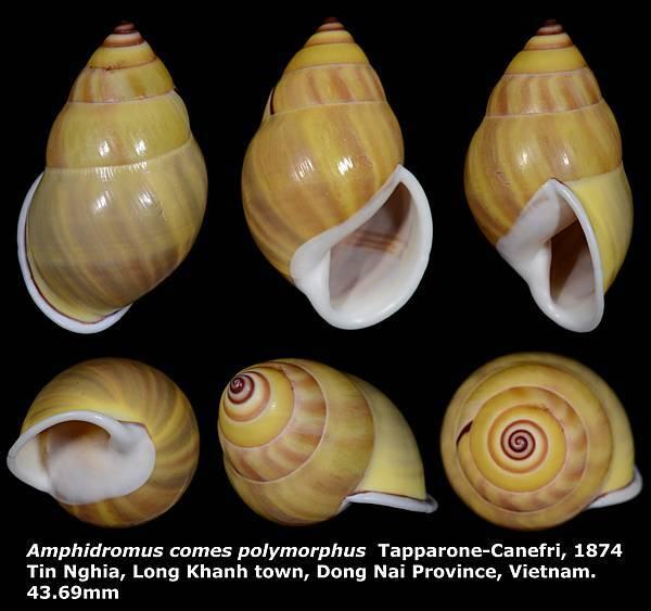 Amphidromus comes polymorphus 43.69mm 00