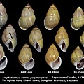 Amphidromus comes polymorphus 38.65 to 45.36mm 00