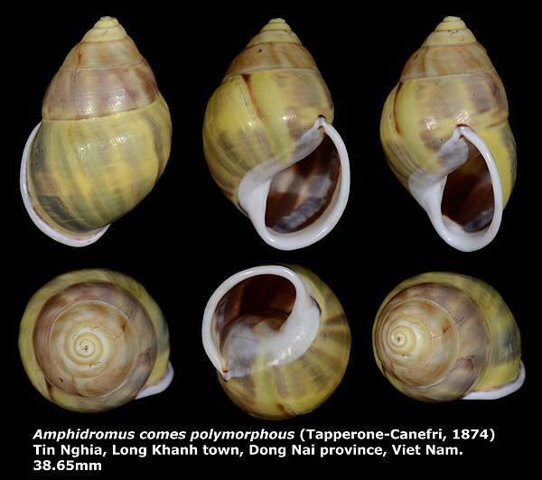 Amphidromus comes polymorphous 38.65mm 00.jpg