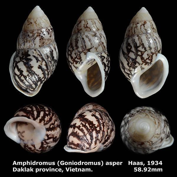 Amphidromus (Goniodromus) asper 58.92mm 00