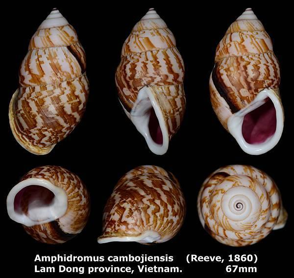 Amphidromus cambojiensis 67mm 00s