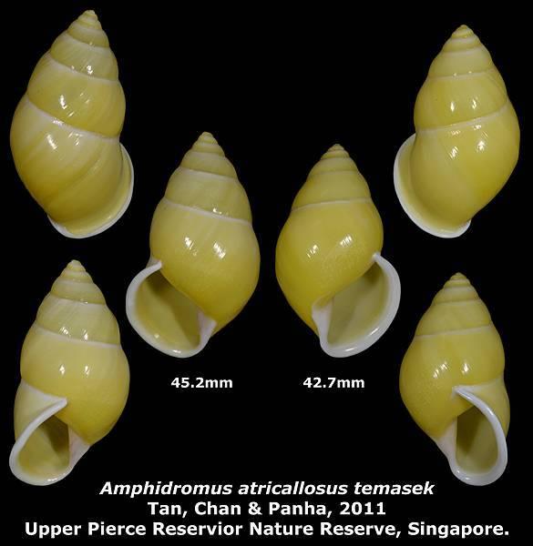 Amphidromus atricallosus temasek 42.7 & 45.2mm 00