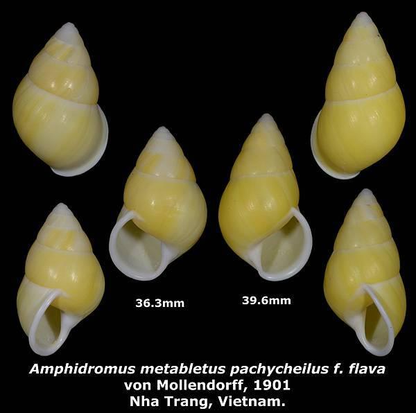 Amphidromus metabletus pachycheilus f. flava 36.3 & 39.6mm