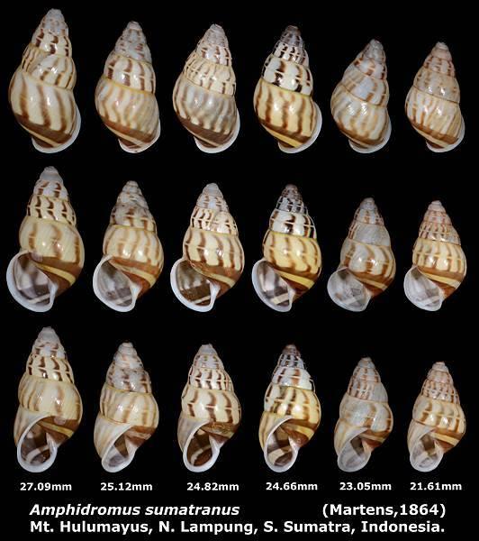 Amphidromus sumatranus 21.61 to 27.9mm