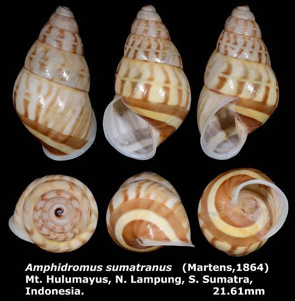 Amphidromus sumatranus 21.61mm 00.jpg