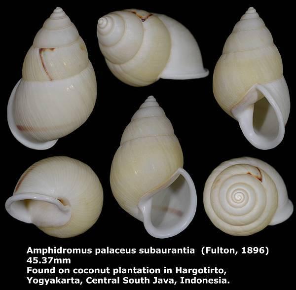 Amphidromus palaceus subaurantia 45.37mm