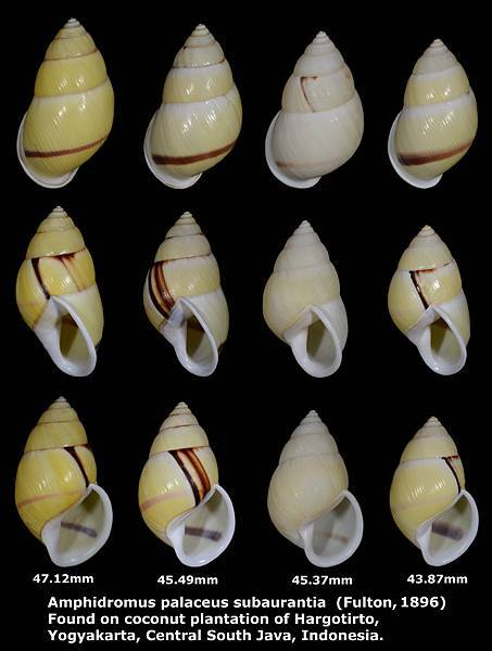 Amphidromus palaceus subaurantia 43.87 to 47.12mm