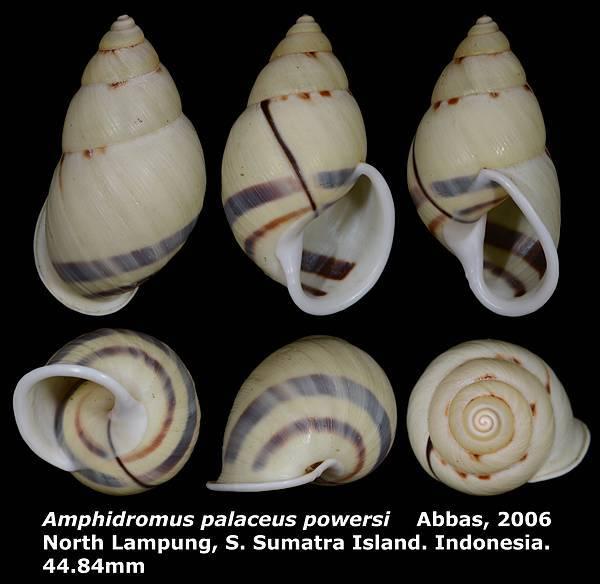 Amphidromus palaceus powersi 44.84mm