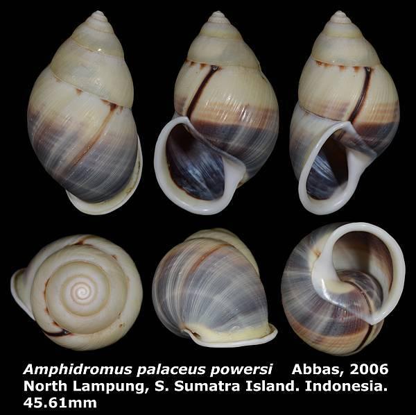 Amphidromus palaceus powersi 45.61mm