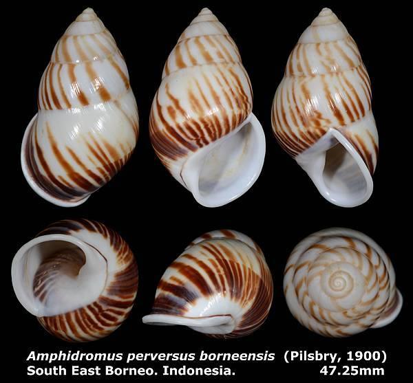 Amphidromus perversus borneensis 47.25mm
