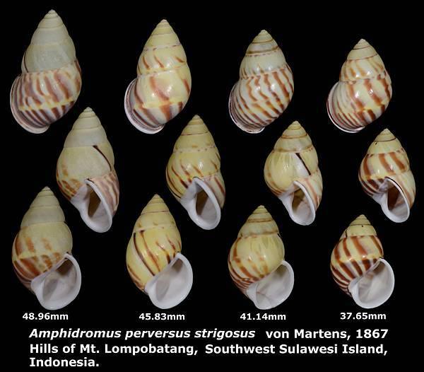 Amphidromus perversus strigosus 37.65 to 48.96mm