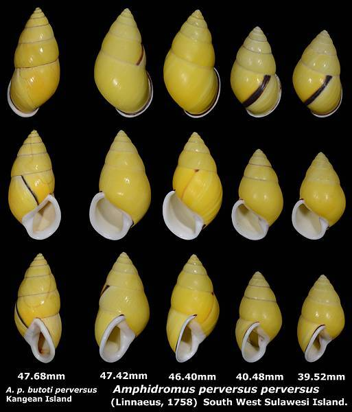 Amphidromus perversus perversus 39.52 to 47.42mm