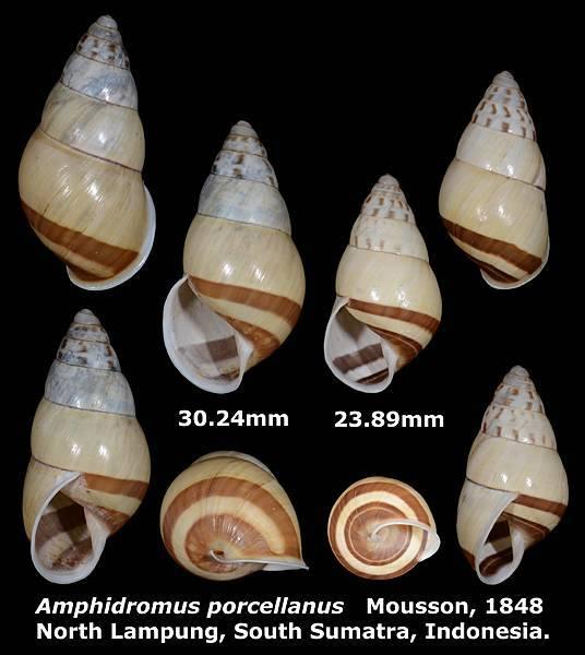 Amphidromus porcellanus 23.89 %26; 30.24mm