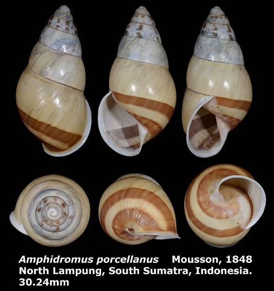 Amphidromus porcellanus 30.24mm