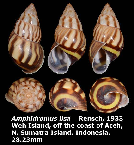 Amphidromus ilsa 28.23mm