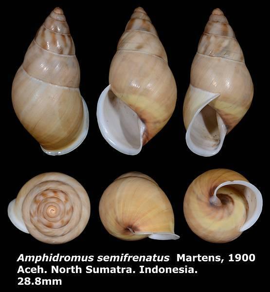 Amphidromus semifrenatus 28.8mm