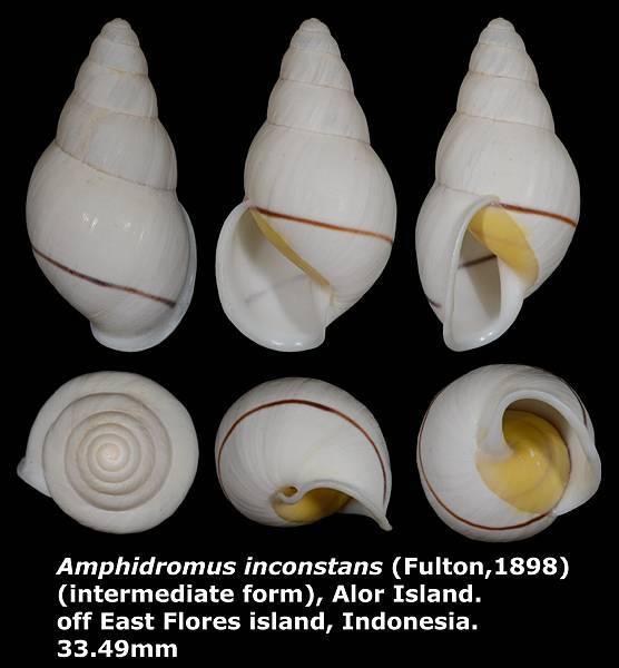 Amphidromus inconstans gracilis 33.49mm
