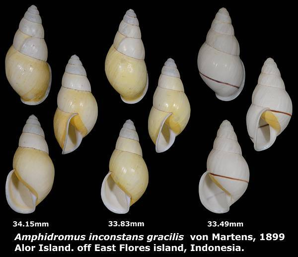 Amphidromus inconstans gracilis 33.49 to 34.15mm