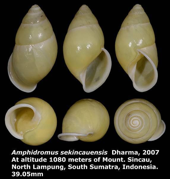Amphidromus sekincauensis 39.05mm