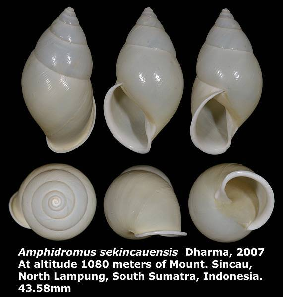 Amphidromus sekincauensis 43.58mm