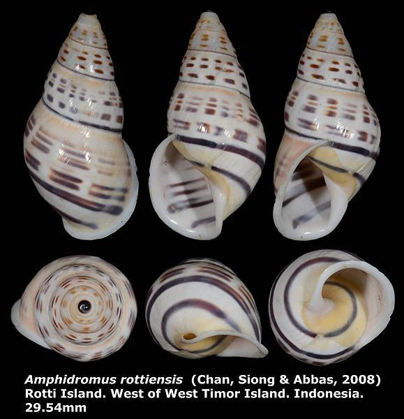 Amphidromus rottiensis 29.54mm