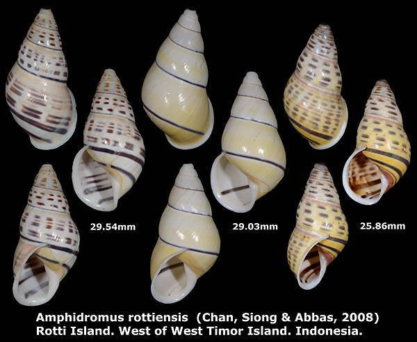 Amphidromus rottiensis 25.86 to 29.54mm