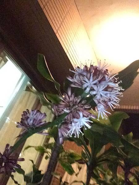 好開心哦! 家里铁樹正在開花 滿屋飄香