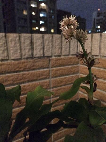 鉄樹閞的花是由小花苞组成一颗颗球型