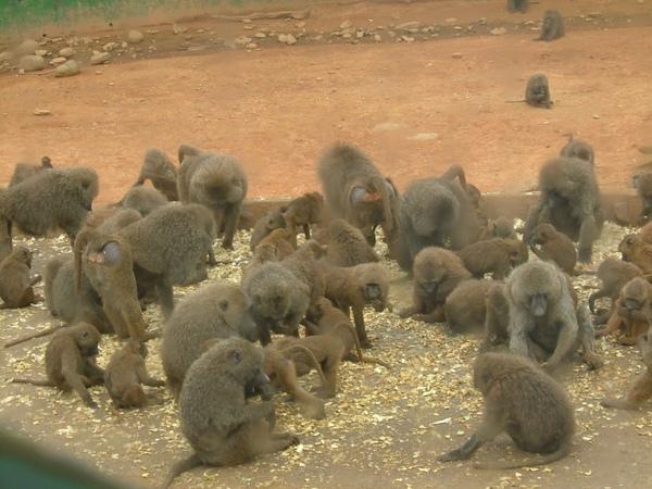 六福村-狒狒
