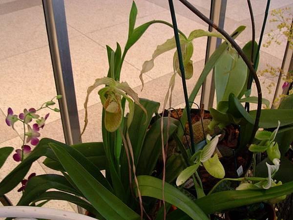 長鬚鬚的蘭花