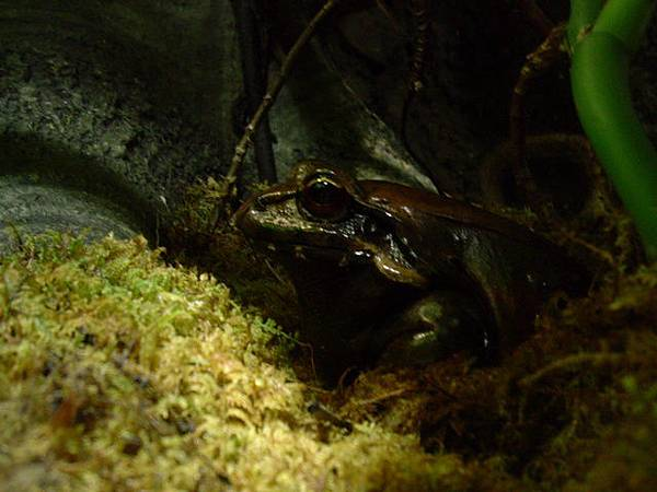 褐色的青蛙
